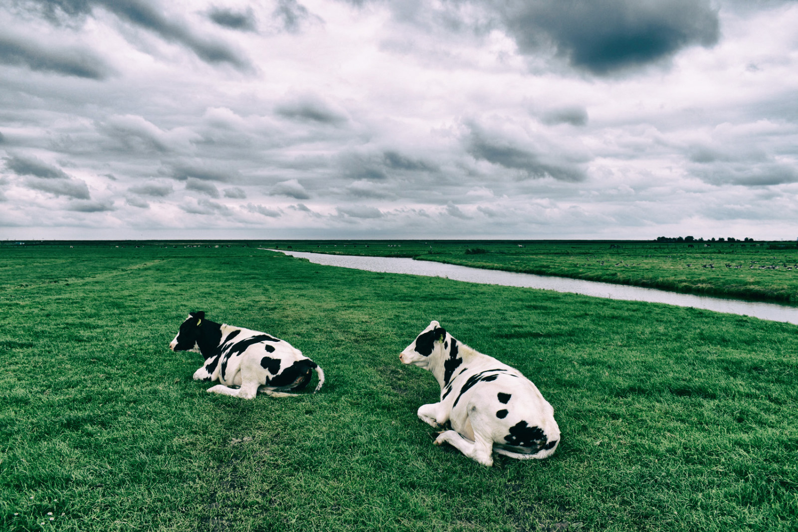 Dutch milk cows laying in green meadow