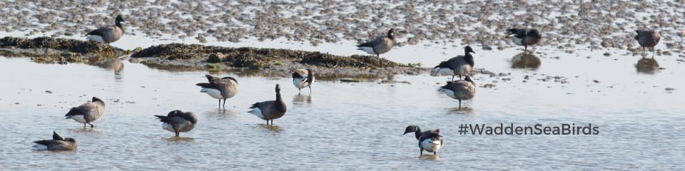 wadden-sea-bird-looking-for-food